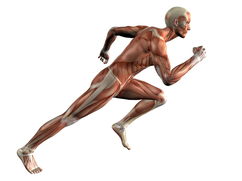 Human body with no skin in a running pose.